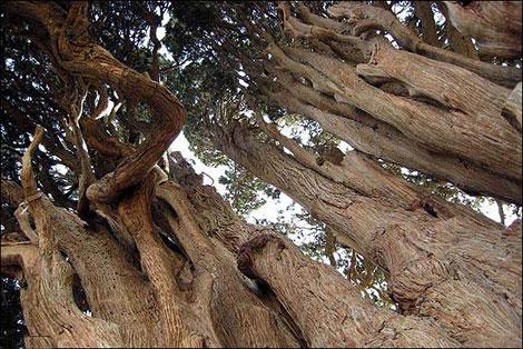 مسن ترین درخت جهان